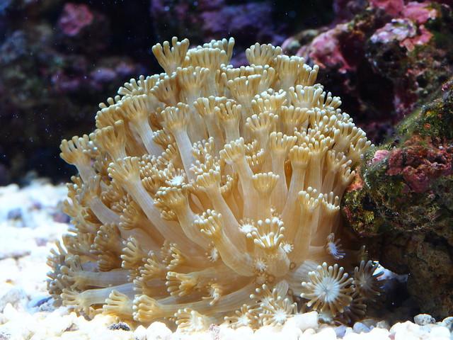 P6255984 石頭花珊瑚