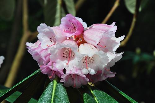 Rhododendron calophytum | by ngawangchodron