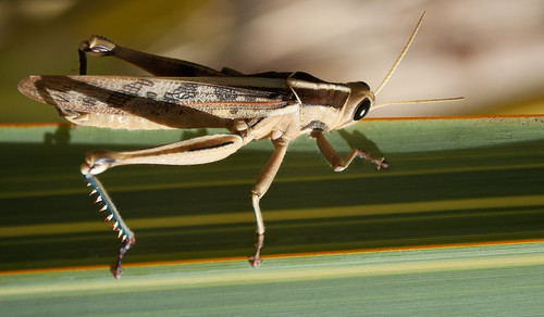 Locust 10/52 | by InspectorJacques