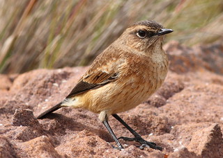 Buff-streaked Chat, Buff-streaked Bushchat, Campicoloides bifasciatus (female) at Marakele National Park, South Africa | by Derek Keats
