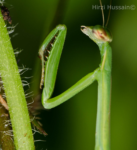 Praying Mantis | by Zeen.