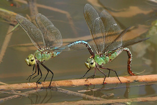 green darner dragonflies | by USFWS Headquarters