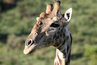 giraffe, Pilanesberg National Park, South Africa | by flowcomm
