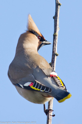 Adult Male Waxwing | by Alan Wennington