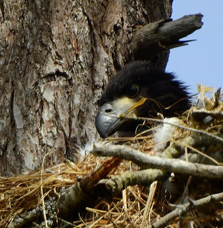 june 16 2016 15:27 - Dunlop Eaglet | by boonibarb
