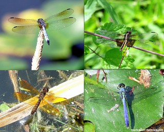 Dragonfly Collage | by THATS RIGHT