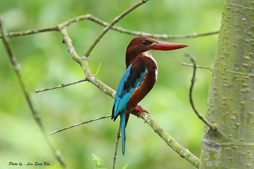 White Throated Kingfisher | by limsweekin