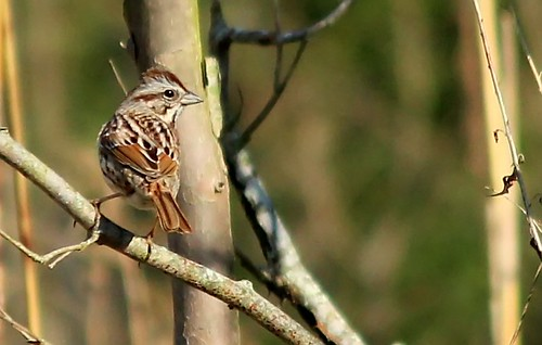 Song Sparrow | by augustnyne