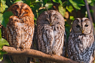 Three owls in a row | by Tambako the Jaguar
