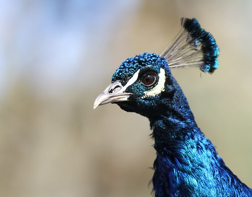PEACOCK BLUE.... | by janet lindgren pierce