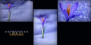 **CROCUS** | by coach48