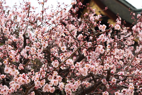 Ume blossoms | by Teruhide Tomori
