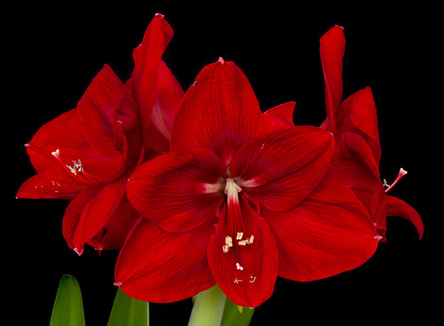 Amaryllis in Bloom | by ncarling