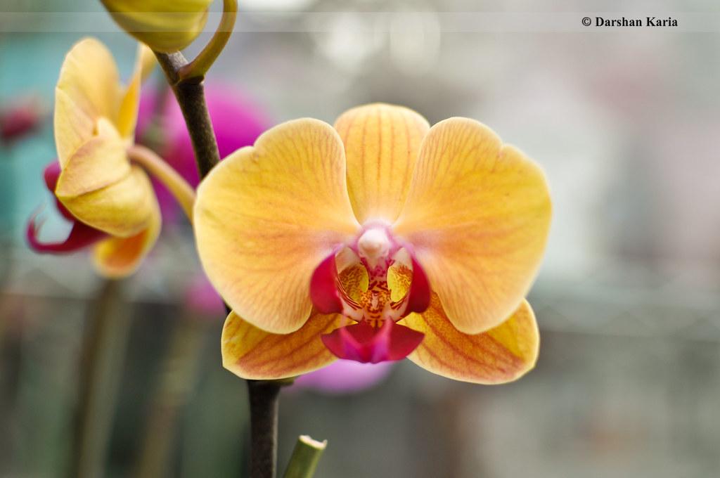 yellow phalaenopsis orchid flower darshan karia flickr