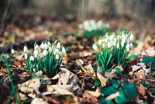 Snow Drops | by BazzaStraße