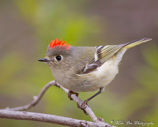 Ruby-crowned Kinglet | by claybuster1(doing good just very busy)