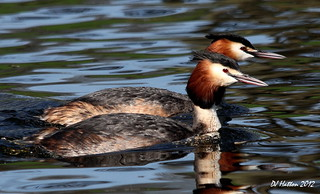 Seeing Double , Mr + Mrs Great Crested Grebe | by claylaner