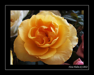 Yellow Rose | by nora2810