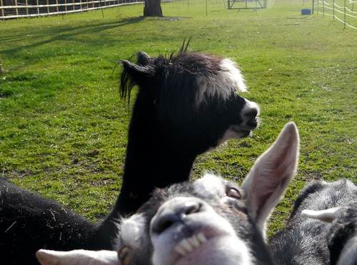Goat photobombs alpaca | by Lucinda Offer