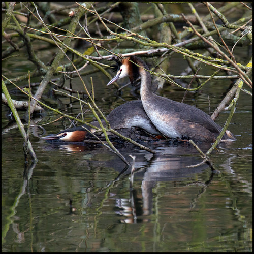makin' grebes ... | by John FotoHouse