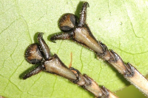 Acrophylla titan, the Titan Stick Insect - front feet (fem ...