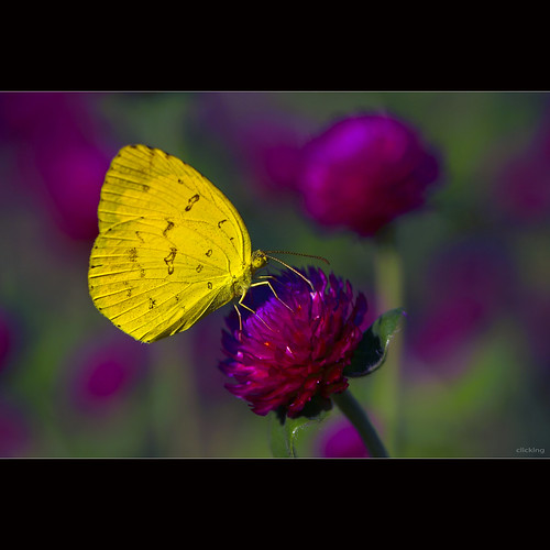 Yellow butterfly in the garden Gomphrena globosa [ EXPLORED ] | by -clicking-