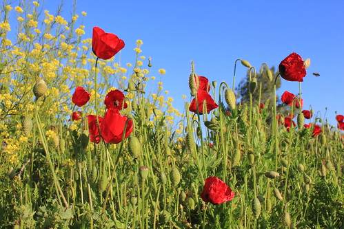 Poppies | by ebeydat