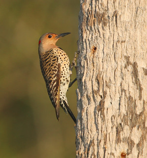 Female Yellow Shafted Flicker Without Mustache | by dbuk2