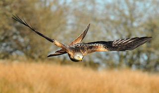 Red Kite at Gigrin Farm | by robmcrorie