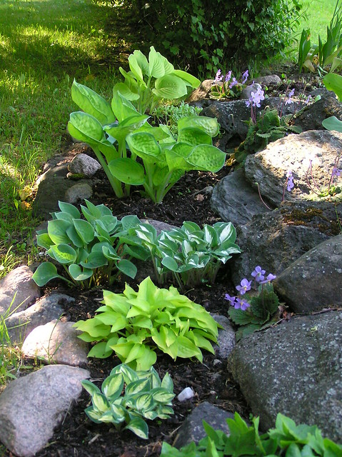 Ramonda myconi & mini hostas