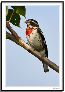 Pheucticus ludovicianus -  Rose Breasted Grosbeak | by J. Amorin