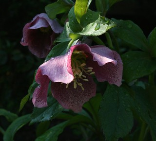 Hellebore1LateMarch2012 | by TreeDellinger