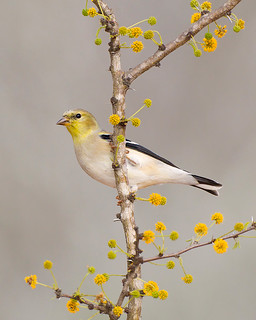 American Goldfinch on Huisache | by Jeff Dyck