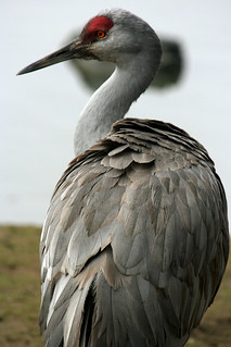 Sandhill Crane | by Heart of the West Coast