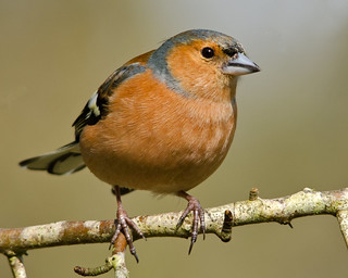 Chaffinch (Barry's) | by Barry & Carole Bowden