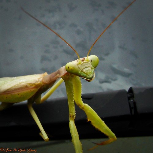 Mantis Crop | by Jose M. Ojeda G.
