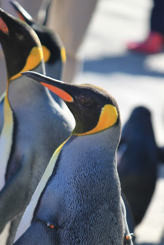King Penguins | by autryp
