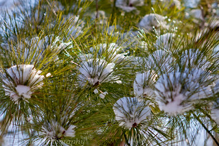 pine snowballs | by BDixon Photography