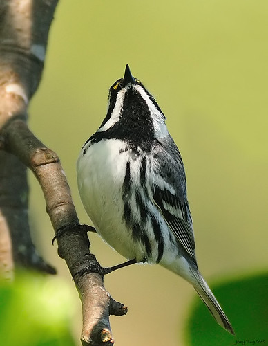 37/978 - Black-throated Gray Warbler (Visitor Center) | by Jerry Ting