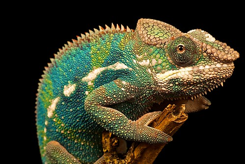 Panther Chameleon | by Andylad1