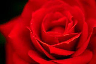 red red rose | by raspberrytart
