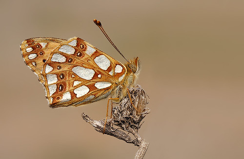 Queen of Spain Fritillary | by nigel kiteley2011