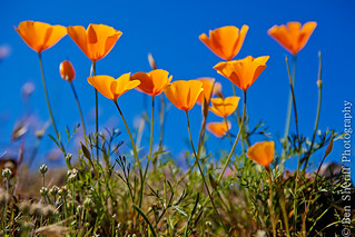 California Golden Poppies | by Ben Sheriff Photography