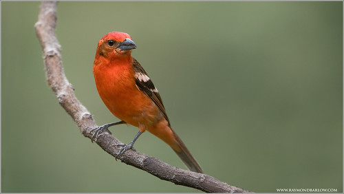 Flame-colored Tanager | by Raymond J Barlow