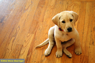 Image Result For Labrador Gun Dog