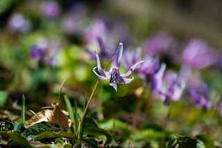 Shining in the sunlight of spring | by shinichiro*