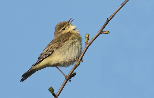 Chiffchaff or Willow Warbler. | by Mike Rawlings