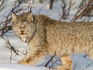 Lynx at Canada Snow | by judaluz83