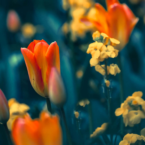 Tulips and wallflowers | by Steve-h