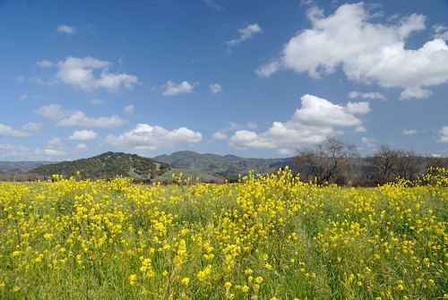 20120312 Yountville Mustard Field | by Tom Spaulding